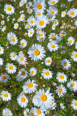 Field of white daisies with green grass on a summer sunny day