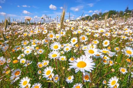 Поле белых маргариток с зеленой травой на синем небе с облаками в летний солнечный день