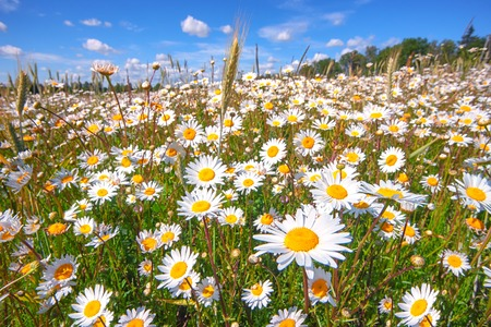 Field of white daisies with green grass against a blue sky with clouds in a summer sunny day Stock Photo