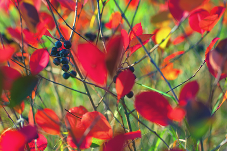 red carpet background: Berries of black chokeberry with red leaves on branches in green krave. Blurry