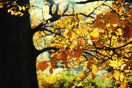 Beautiful yellow trees with orange leaves in a city park on a sunny day