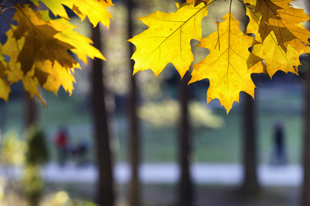 Yellow and orange maple leaves on a sunny day in a park with trees