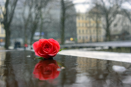 A bud of a red rose lies on the stage of the stage in the parks winter city park with a reflection