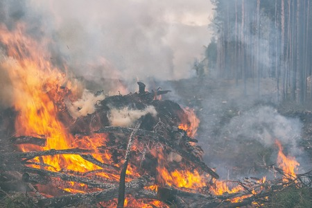 When building a road, the pine forest with the branches is burned in the fire