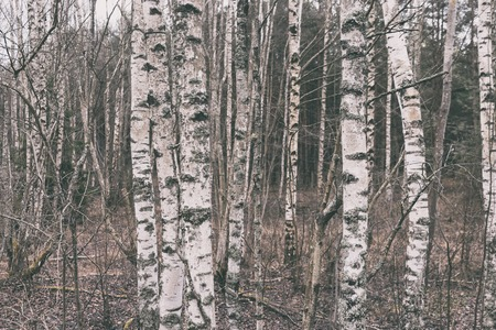 Natural birch forest in the Baltic dunes on an autumn cloudy day