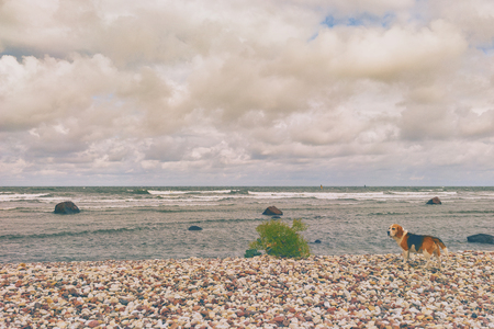 A dog stands on the stony beach of the Baltic Sea in a strong wind.