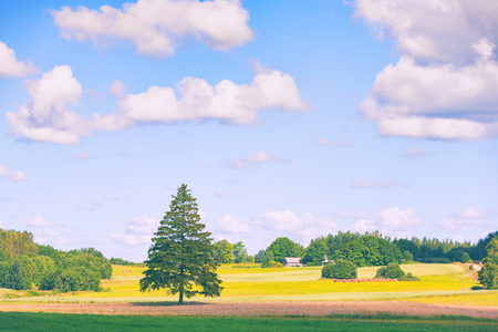Rural landscape with green spruce on a yellow field under a blue sky with clouds in summer