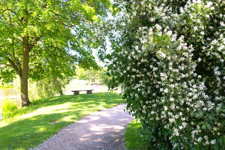 Park with plants with white flowers and a bench on the walkway on a sunny day. Jaunelgava, Latvia