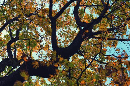 Old maple with leaves and twisting branches in early autumn in September against the sky