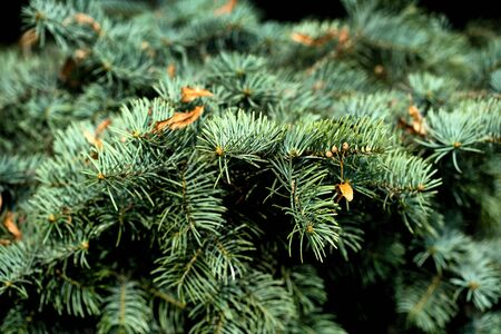 Green spruce with yellow leaves on branches in the summer afternoon in the fall