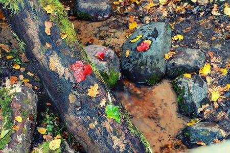 A stream with clear water flows past stones with leaves in an autumn Baltic forest. Reklamní fotografie