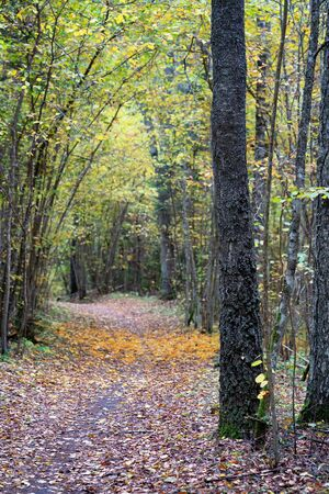 Alley with fallen orange leaves in a dark forest in autumn