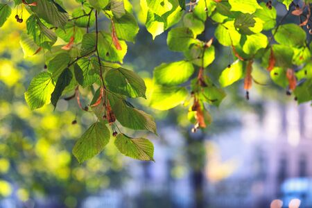 Bright green linden leaves in a city park on a sunny day