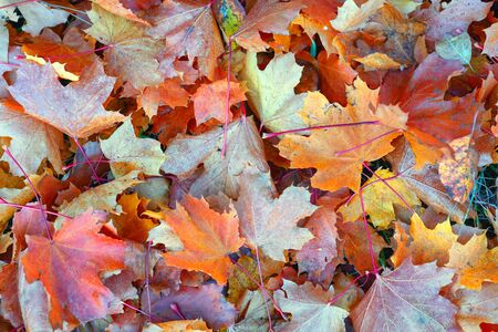 Bright multi-colored autumn leaves lie on dry grass Reklamní fotografie