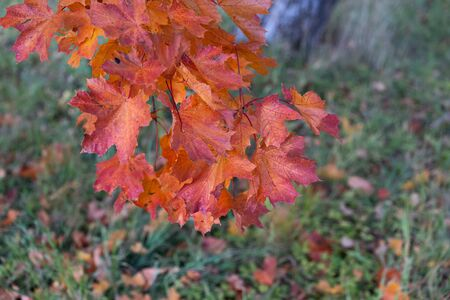 Bright red maple leaves in the garden on a background of green grass Reklamní fotografie