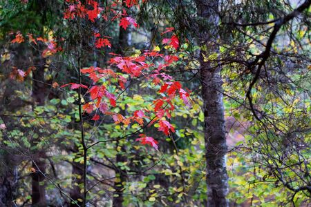 Red maple leaves in the dark coniferous forest of the Baltic states