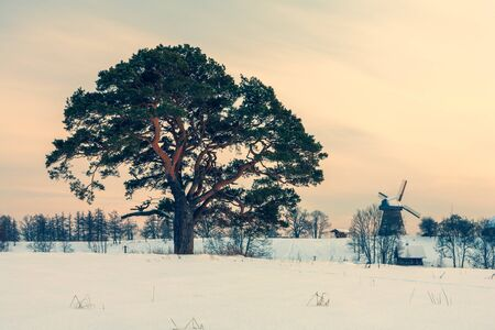 Winter landscape with green pine in the snow and a mill on a hill. Latvia