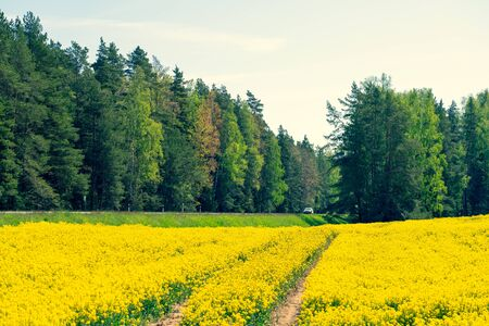 The road between the forest and the yellow field. Car rides on the highway. Rape field in spring. Latvia