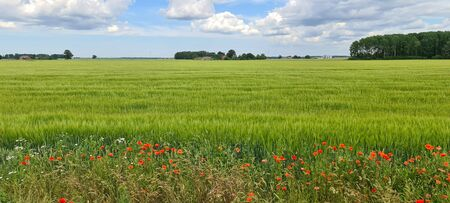 Red poppies and wildflowers on an agricultural field to the horizon. Sunny bright day with clouds in the sky. Latvia. Baltic state