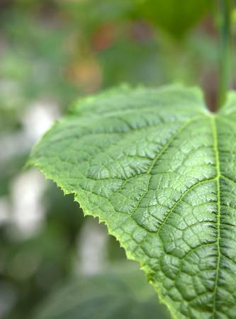 Cucumber leaf Stock Photo