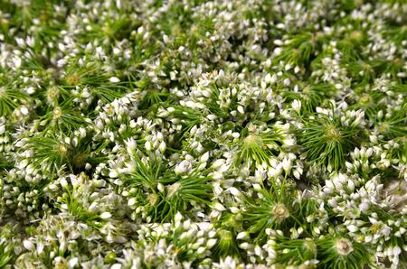 pungency: Leek flowers