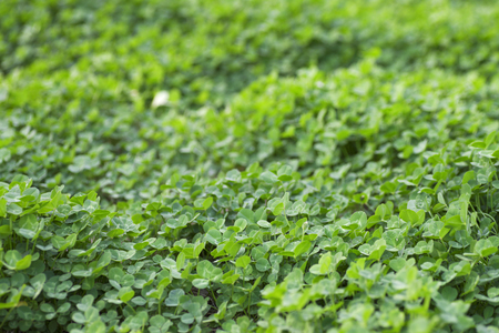 A lush clover background Stock Photo