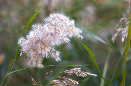 Reed flowers in autumn field 版權商用圖片