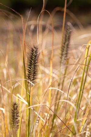 Setaria viridis 版權商用圖片