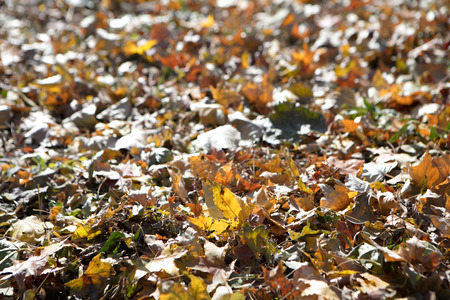 Yellow leaves on the ground in the   autumn