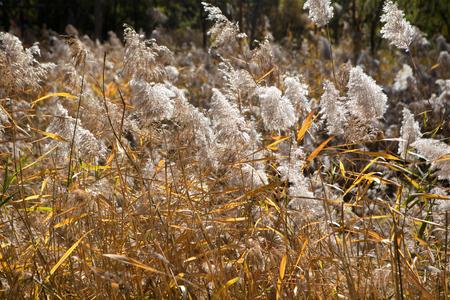 Autumn reeds Imagens