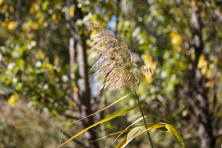 Autumn reed flower closeup