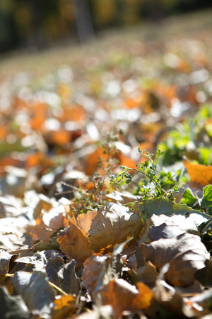 Thick leaves stacked on the ground in autumn