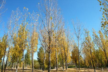 Poplar trees in autumn Imagens