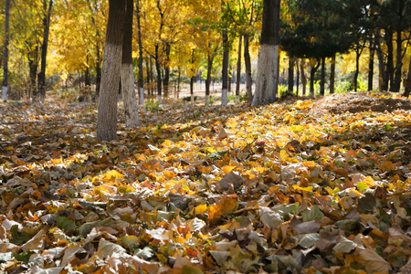 Trees and  leaves in the autumn park
