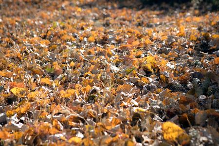 Golden leaves on the ground