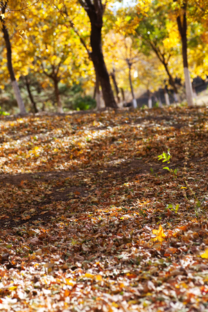 Autumn golden leaves