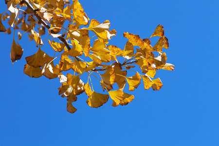 Ginkgo yellow leaves under the blue sky
