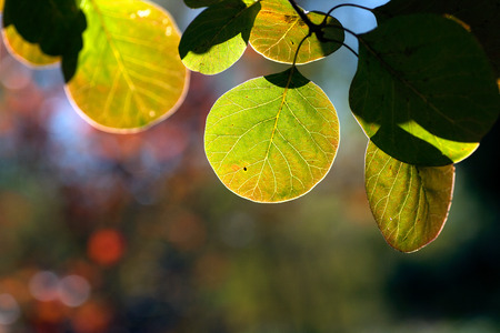 Autumn green yellowing leaves