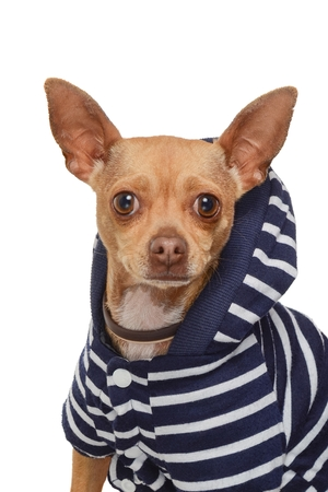 Head and shoulders studio portrait of a honey-color Chihuahua breed dog, dressed in a blue and white striped sweater on a plain white background.