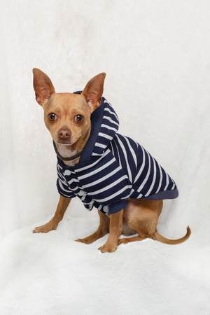 Full-length studio portrait of a honey-color Chihuahua breed dog, dressed in a blue and white striped sweater, sitting on a textured white background.