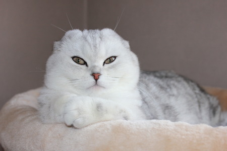 true bred: Scottish Fold beautiful cat