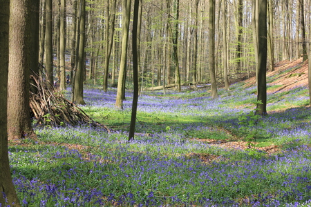 bluebells: beautiful forest millions of bluebells Stock Photo