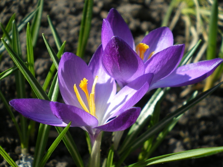 Two beautiful purple crocuses glowing in the early spring sun