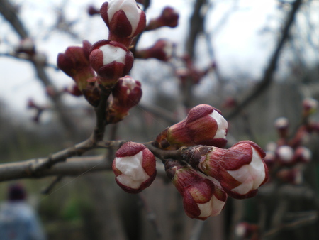 Buds of the half-open buds of early spring close-up