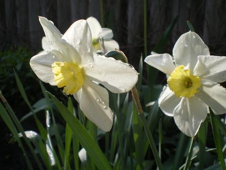 Beautiful yellow botanical narcissus flower
