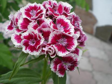 white summer tacho carnation inflorescence