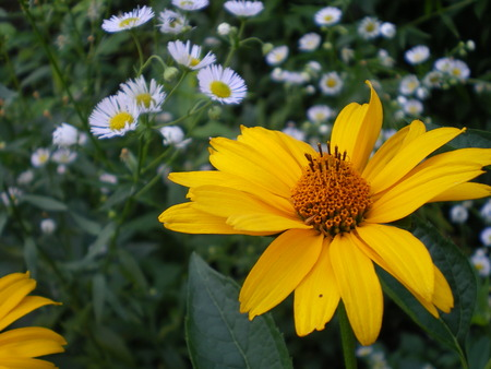 beautiful yellow flower of heliopsis. on a background of white daisies. warm summer day