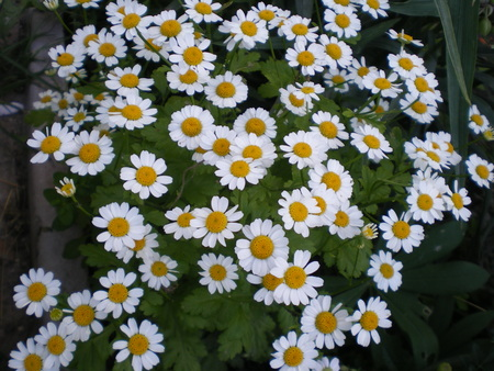 small white daisies with yellow centers on a green background Stock Photo