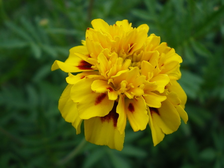 Beautiful yellow with orange flower marigold closeup on a green blurred background. summer