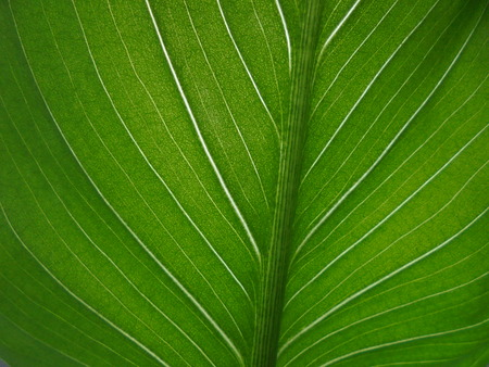 green leaf with light streaks of calla close up. fresh green background Stock Photo